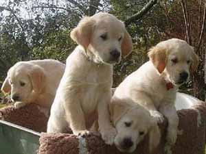 http://lovely.cowblog.fr/images/golden.jpg